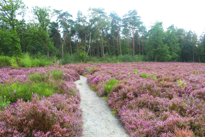 Heide in bloei Wandeling in De Liereman