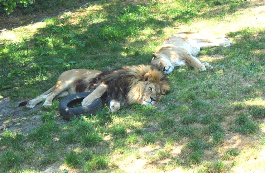 Leeuwen Pakawi Park Olmen