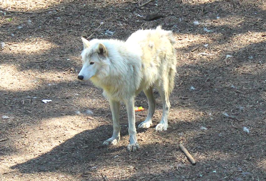 Pakawi Park Hudsonwolf