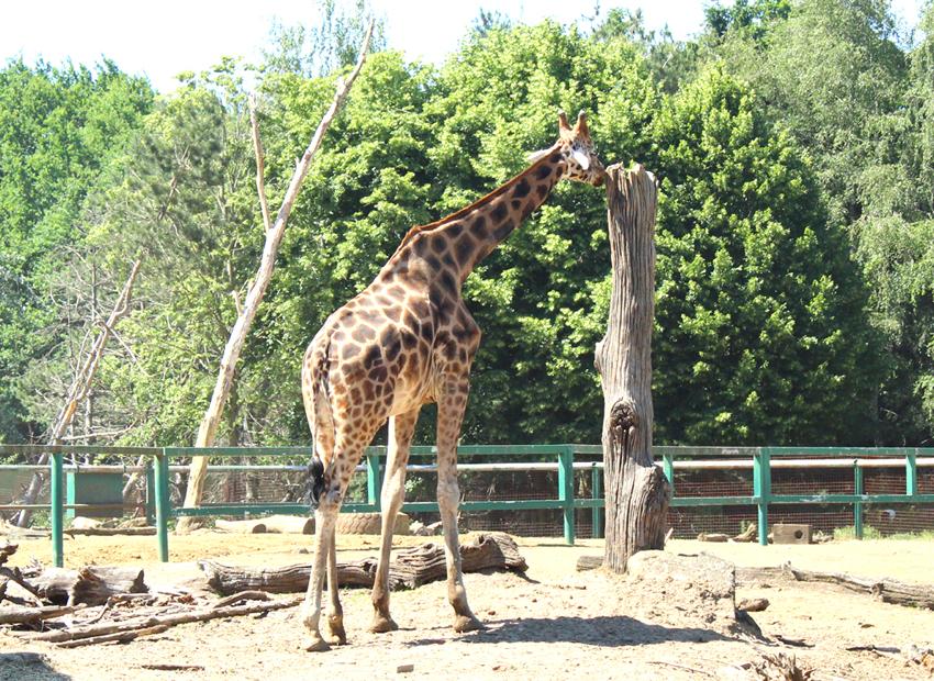Giraffen savanne Pakawi Park