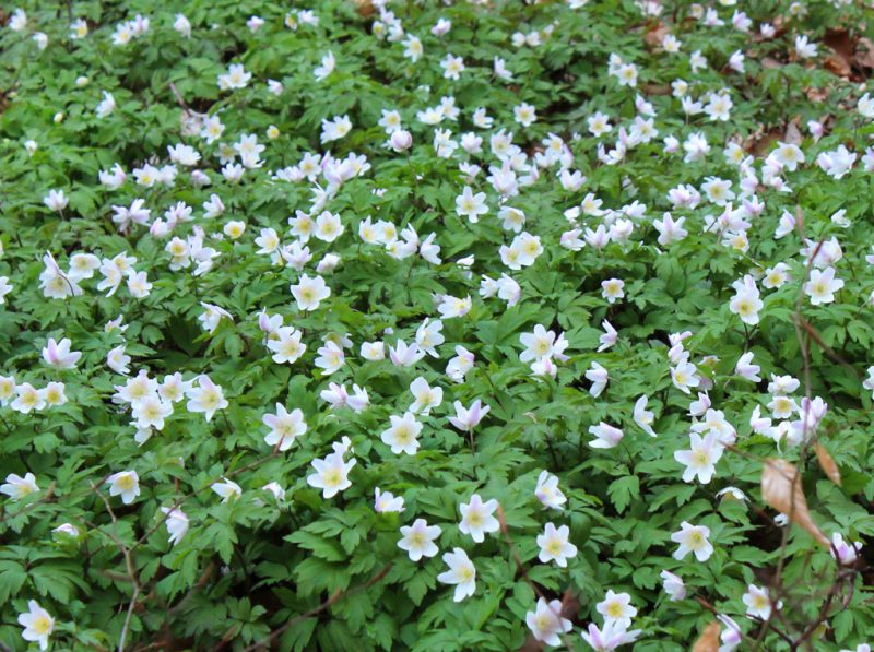 Bosanemonen in bloei