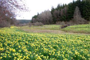 Wilde narcissen Oost-België